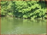 """<font color=""""blue""""><font size=""""+1""""> Plusieurs canards face l île aux Corbeaux, la Meuse, Hermalle-sous-Argenteau</font></font>"""