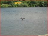 """<font color=""""blue""""><font size=""""+1""""> hemlot Position caractéristique du grand cormoran, lorsque le grand cormoran est surpris face au soleil les ailes déployées, ce n est pas pour se sécher, mais pour exposer son bol alimentaire au soleil afin de favoriser la digestion. île de Franche Garenne côté de la Meuse..</font></font>"""