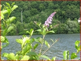 """<font color=""""blue""""><font size=""""+1""""> noue Jolie plante herbacée vivaces Agastache, face à la Meuse.</font></font>"""