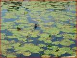 """<font color=""""blue""""><font size=""""+1""""> noue de hemlot Le nénuphar jaune (Nuphar lutea) plante aquatique (noue de Hemlot) et petit canard, Hermalle-sous-Argenteau</font></font>"""