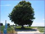 """<font color=""""blue""""><font size=""""+1""""> Arbre Patroté un vieux tilleul à Houtain Saint-Siméon L arbre fut détruit par la foudre au cours d un violent orage au mois d août 1930 Cependant, pour entretenir le mythe les citoyens en ont replanté un autre </font></font>"""